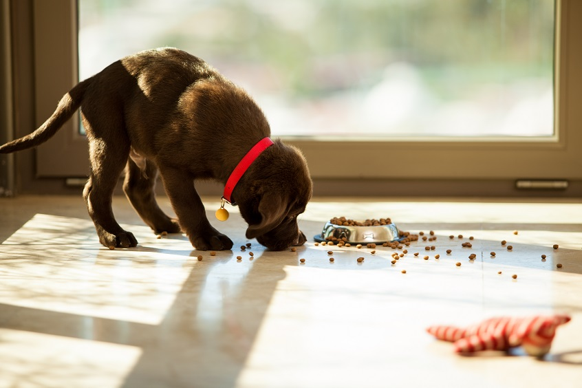 dark brown puppy eating food